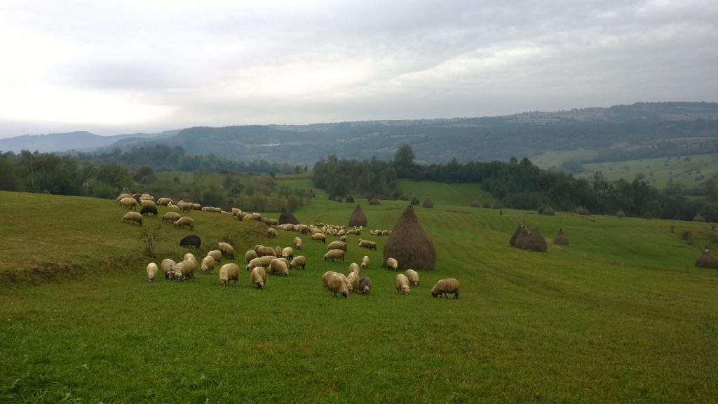 sheep-in-the-meadow-and-haystacks