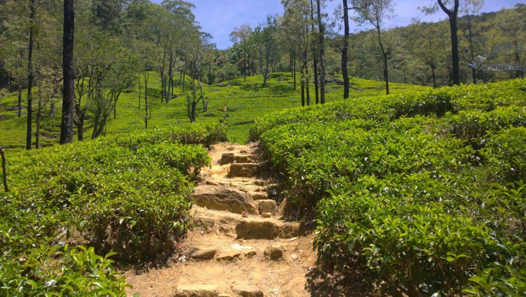 The lush tea plantations