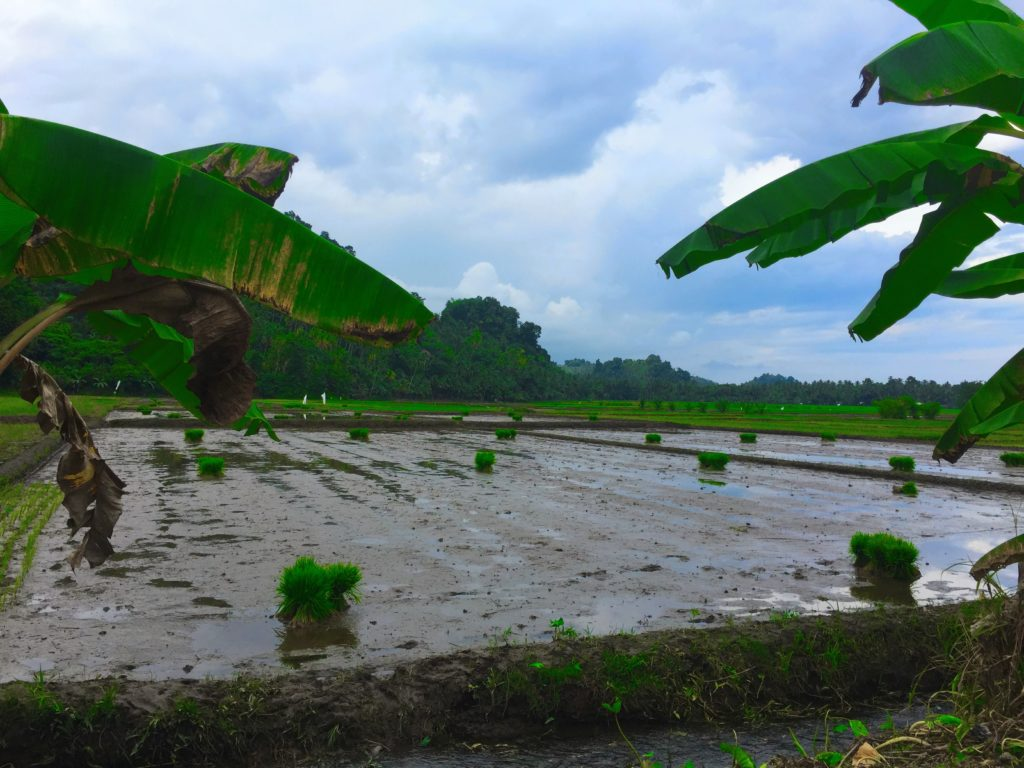 Season of rice cultivation